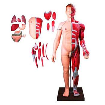 人体全身层次解剖附内脏模型KAR/10001-2