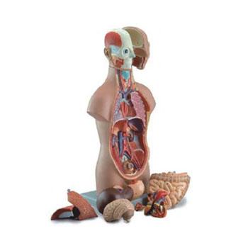 无性人体半身躯干模型KAR/10003C