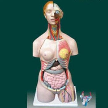 男、女兩性人體半身軀干模型KAR/10002
