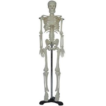 人体骨骼模型KAR/11101-3