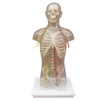 透明半身躯干附血管神经模型KAR/10005