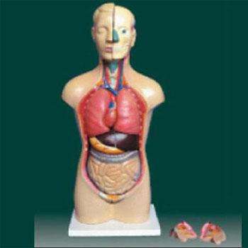 男、女两性人体半身躯干模型KAR/10003D
