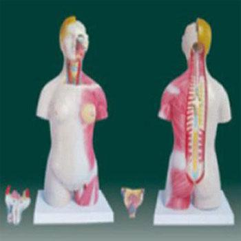 男、女两性人体半身躯干模型KAR/10003A