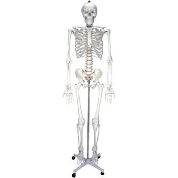 男性人體骨骼模型KAR/11101-1