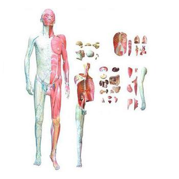 人體全身層次解剖附內臟模型KAR/10001-1