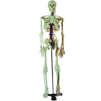 人体骨骼附血管神经模型KAR/11101-4