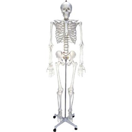 女性人体骨骼模型2KAR/11101-2