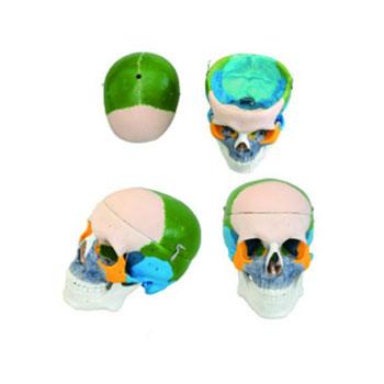 成人头颅骨骨性着色模型KAR/11111-1