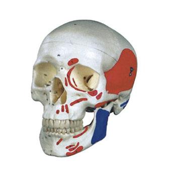 成人头颅骨肌肉着色模型KAR/11111-2