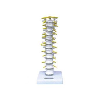 胸椎模型KAR/11108