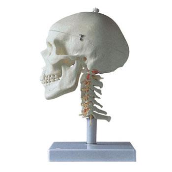 成人头颅骨带颈椎模型KAR/11111-3