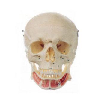 成人头颅骨附神经模型KAR/11112