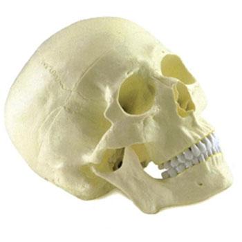 成人頭顱骨模型KAR/11110