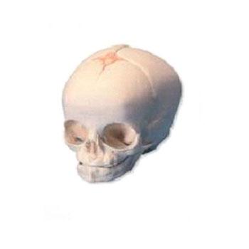 嬰兒頭顱骨模型KAR/11115