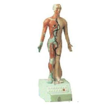 电动语言十四针灸模型高85cm