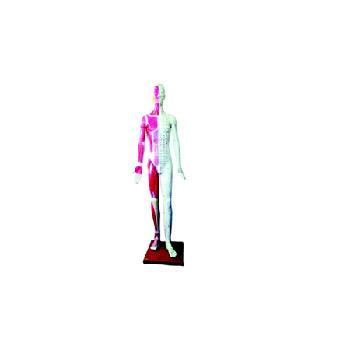 康人人体针灸模型高170cm
