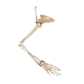 手臂骨、肩钾骨、锁骨模型KAR/11123