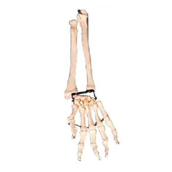手臂骨带尺骨与挠骨模型KAR/11125