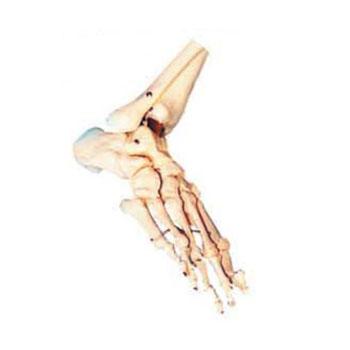 足骨模型KAR/11133