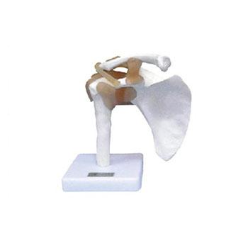 肩关节功能模型KAR/11209-1