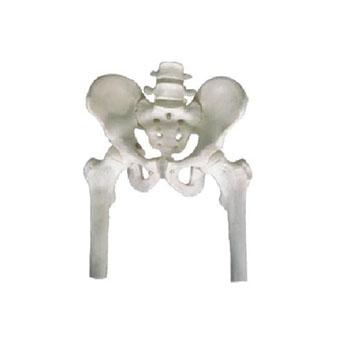 骨盆帶兩節腰椎附半腿骨模型KAR/11129-1