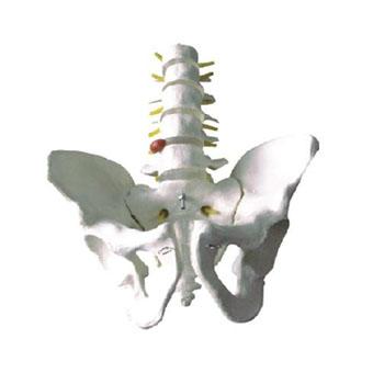 骨盆带五节腰椎模型KAR/11129-3