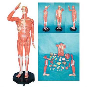 人体全身肌肉附内脏模型KAR/11301-1