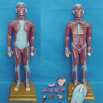 康人人體全身肌肉附內臟模型KAR/11301-2