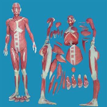人体全身肌肉解剖模型KAR/11302-1