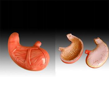 胃解剖模型YLM-A12002