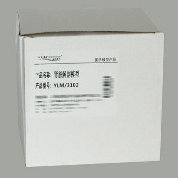 腎臟解剖模型YLM-A14005