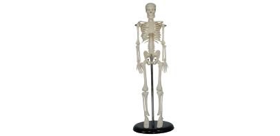 人体骨骼模型XC-103