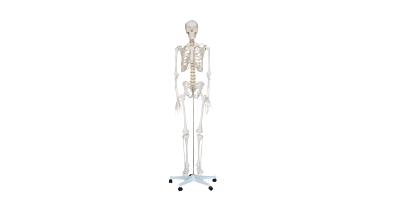 人體骨骼模型XC-101