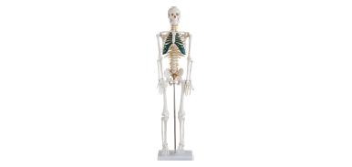 人体骨骼带神经模型85CM XC-102A