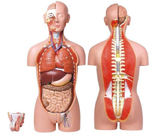 式半身躯干模型