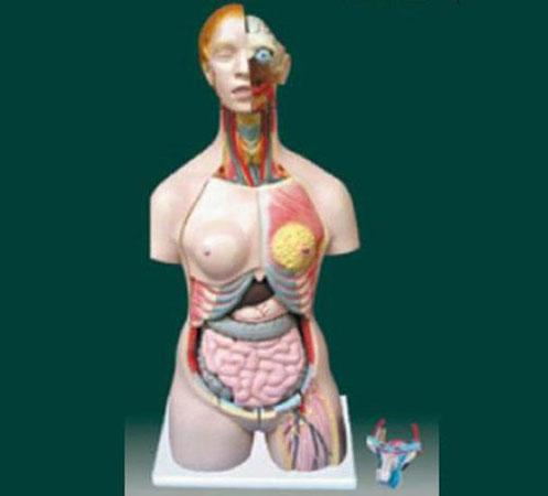 女两性人体半身躯干模型