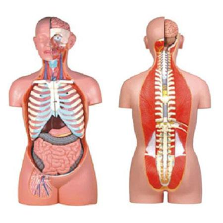 康人无性人体半身躯干模型